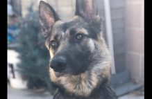adopt a german shepherd - abbie