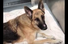 adopt a german shepherd - bruce