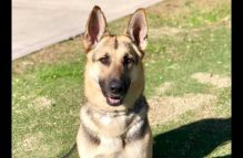 adopt a german shepherd - holly