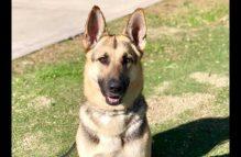 adopt a german shepherd - holly