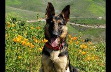 adopt a german shepherd - riley