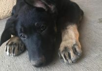 adopt a german shepherd - sunday