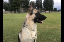 adopt a german shepherd - sweetluna
