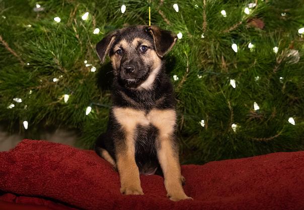 adopt a german shepherd - hollyberry