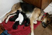 adopt a german shepherd - honey
