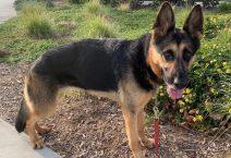 adopt a german shepherd - jillian