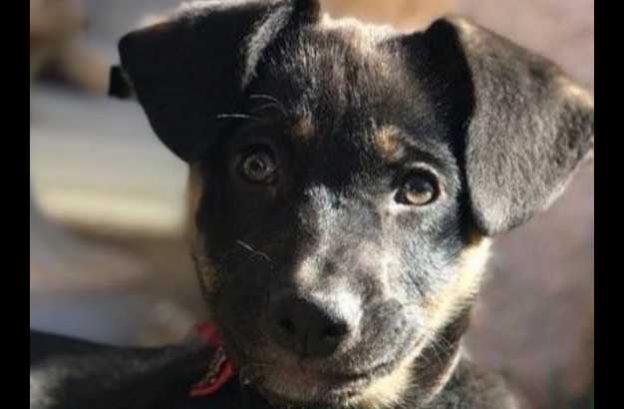 adopt a german shepherd = mai tai