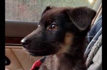 adopt a german shepherd - maple bar