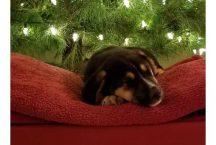 adopt a german shepherd - mistletoe
