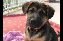adopt a german shepherd - sherlock