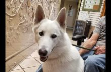 adopt a german shepherd - tupu