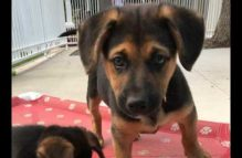 adopt a german shepherd - watson