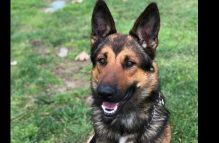 adopt a german shepherd - archer