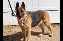 adopt a german shepherd - athena