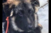 adopt a german shepherd - doogie