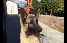 adopt a german shepherd - huxley