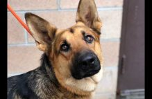 adopt a german shepherd - jonas