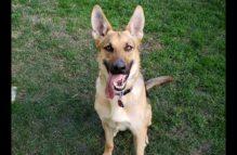 adopt a german shepherd - maley