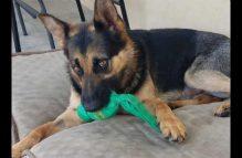 grady - adopt german shepherd