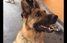 adopt a german shepherd - mason