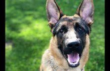 adopt a german shepherd - mr. shadow