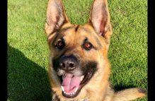 adopt a german shepherd - prince