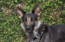 adopt german shepherd =