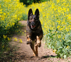 German Shepherd on a trail