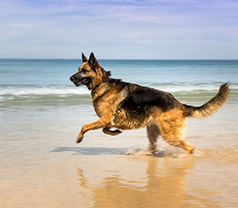 German Shepherd playing at the beach