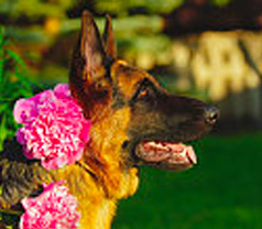 German Shepherd with Roses