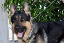 leon adopt german shepherd