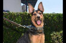 amelia-adopt german shepherd