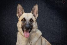 bob - adopt german shepherd