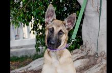 zipper adopt german shepherd
