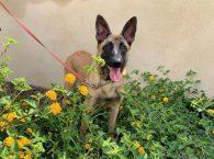 zoey adopt german shepherd