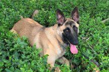 zoey-adopt german shepherd