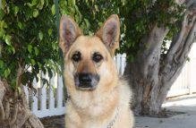 hoffin adopt german shepherd