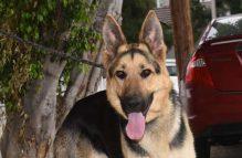 lil bobby-adopt german shepherd