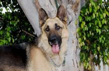 ruger-adopt german shepherd