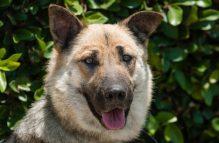 talulah adopt a german shepherd