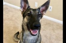 ada adopt german shepherd
