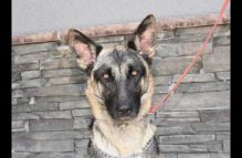 buddy-adopt german shepherd
