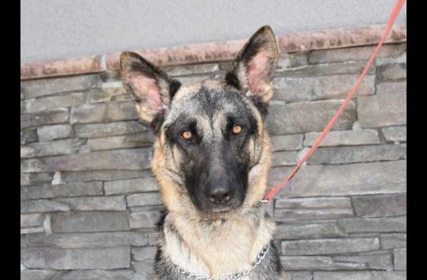 buddy-adopt german shepherd