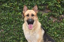 adopt german shepherd - otto