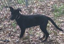 peggy sue - adopt german shepherd