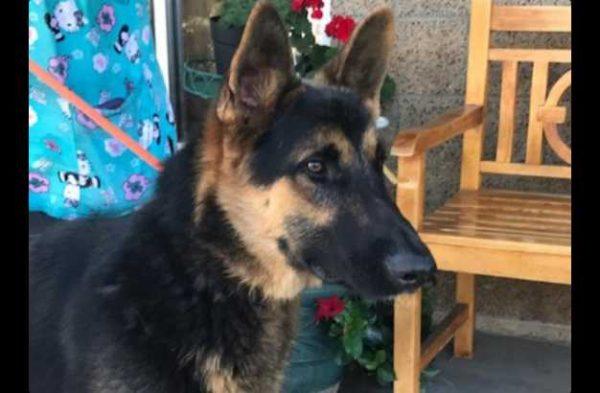 Dogs Archive - German Shepherd Rescue of Orange County