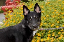 kimmie-adopt german shepherd