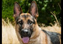 roxy - adopt german shepherd