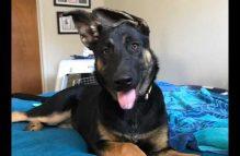 gracie-adopt german shepherd