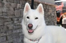 asla-adopt german shepherd